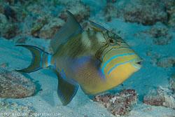 BD-101213-Playa-del-Carmen-3145-Balistes-vetula.-Linnaeus.-1758-[Queen-triggerfish].jpg